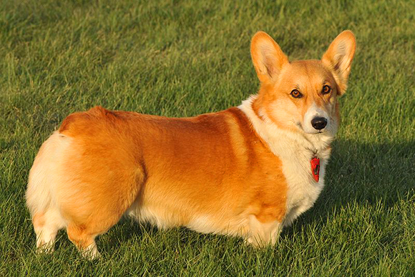 Corgis In The Park: This city has gone to the dogs