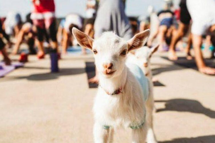 Goat Yoga: Downward dog, open sky, and baby goats