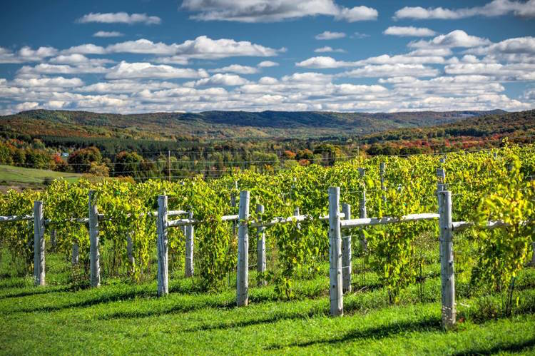 The vines growing at Petoskey Farms Vineyard & Winery