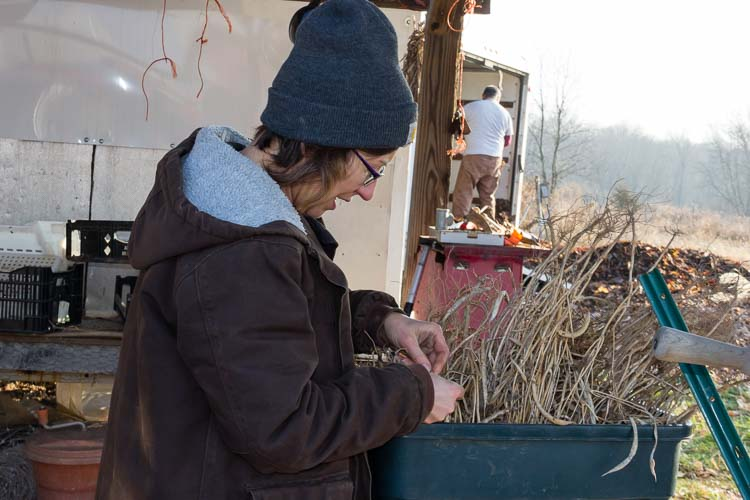 Kelly Vallelunga picks beans from dry plants.