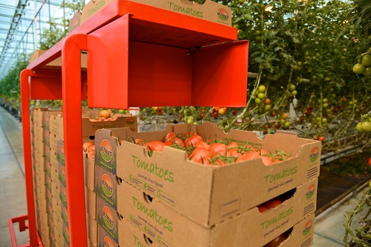 Robotic carts carrying full boxes of hand-picked tomatoes exit the Mastronardi Produce greenhouse before being placed in biodegradable packaging.